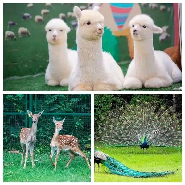 孔雀,鸵鸟……一秒钟走进动物世界 还有新来的小伙伴羊驼和梅花鹿